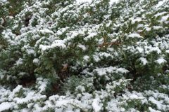 Snow on branches of Juniperus squamata. In winter Royalty Free Stock Photo