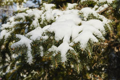 Snow on branches. A layer of snow on the branches of spruce Stock Photography