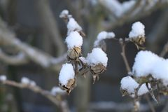 Snow on branches and leaves royalty free stock image