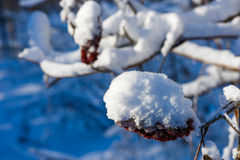 Snow on branches Royalty Free Stock Photo