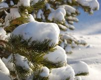 Snow on branches of a pine stock images