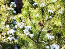 Snow on branches of pine trees in sunny day. Snow on branches of pine trees on backyard of country house in sunny day Royalty Free Stock Image