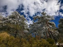 Snow on the branches of pinus tree Pinus sylvestris on the forest. Snow covered the branches of pinus tree Pinus sylvestris on the forest Stock Photography