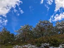Snow on the branches of pinus tree Pinus sylvestris on the forest. Snow covered the branches of pinus tree Pinus sylvestris on the forest Royalty Free Stock Image