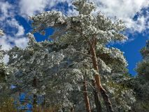 Snow on the branches of pinus tree Pinus sylvestris on the forest. Snow covered the branches of pinus tree Pinus sylvestris on the forest Stock Image