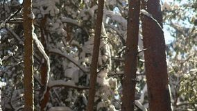 The snow on the branches. Siberian winter. Beautiful winter forest. Beautiful winter forest. Trees in the forest. The snow lies on the branches of trees stock video