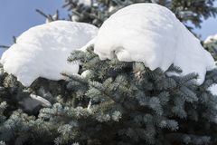 Snow on branches of spruce stock photography