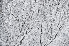 Snow and branches Royalty Free Stock Image