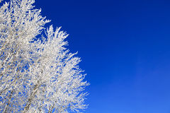 Snow branches on the tree at blue sky background. Frosty winter day - snowy branch closeup Stock Images