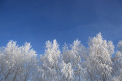 Snow branches on the tree at blue sky background. Royalty Free Stock Photos
