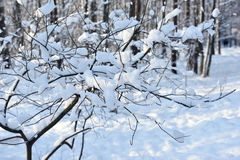 Snow on branches of tree Royalty Free Stock Photos