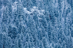 Snow on the branches of trees Stock Image