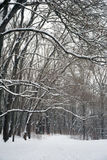 Snow on the branches of trees. Winter forest. Walking in the park in winter. Snow covered trees and ground Stock Photos