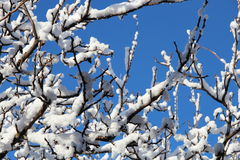 Snow on branches. Branches under snow in a bright sunny day Stock Photos