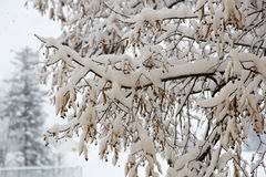 Snow Branches and Winter Background Royalty Free Stock Images