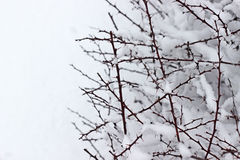 Snow branches Stock Photo