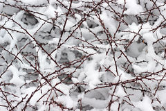 Snow branches Stock Image