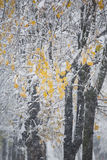 Snow on the branches with yellow leaves Stock Photos