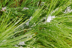 Snow on the brunch. Stock Photos