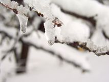 Snow on brunch 5. Two icicles on the small twig royalty free stock photo