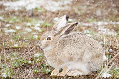 Snow Bunny. A wild cottontail rabbit sits quietly in a spring snowfall stock photography
