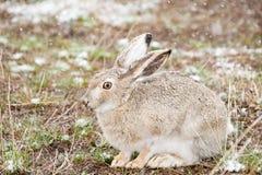 Snow Bunny Stock Photography