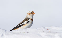 Snow Bunting Stock Photos