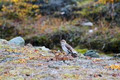 Snow bunting in Arctic Royalty Free Stock Photography