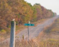 Snow bunting arriving for the winter on a wooden pole with country gravel road in rural Wisconsin with fall color autumn trees - y royalty free stock image