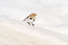 Snow Bunting On A Band Of Snow Royalty Free Stock Photo