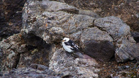 Snow bunting bird on volcanic rock in Iceland Royalty Free Stock Photos