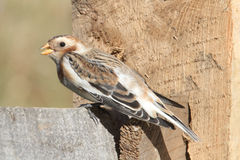 Snow Bunting On A Fence Stock Images