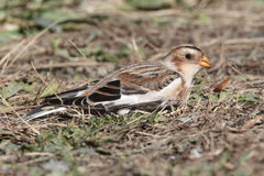Snow Bunting In A Field Royalty Free Stock Images