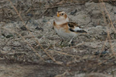 Snow Bunting Stock Image