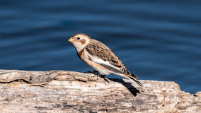 Snow Bunting Perched on a Log Royalty Free Stock Photos