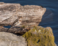 Snow Bunting Perched on a Log Stock Photography