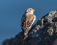 Snow Bunting Perched on a Rock Royalty Free Stock Images