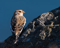 Snow Bunting Perched on a Rock Royalty Free Stock Photos