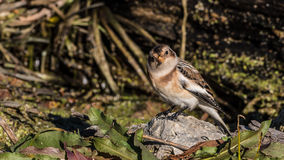Snow Bunting Perched on a Rock Stock Images