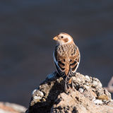 Snow Bunting Perched on a Rock Stock Photos