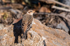 Snow Bunting Perched on a Rock Royalty Free Stock Image