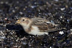 Snow bunting Plectrophenax nivalis Royalty Free Stock Photography