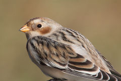 Snow Bunting (Plectrophenax nivalis) Stock Photo