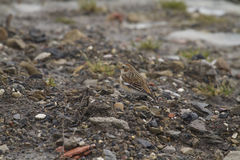 Snow Bunting  (Plectrophenax nivalis) Royalty Free Stock Images