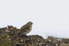 Snow Bunting  (Plectrophenax nivalis) Stock Images