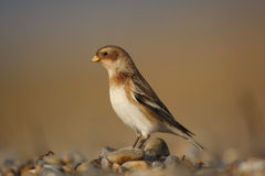 Snow bunting, Plectrophenax nivalis Royalty Free Stock Images