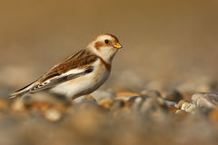 Snow bunting, Plectrophenax nivalis Stock Photo
