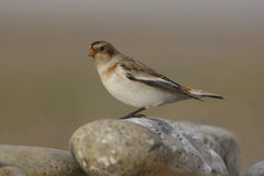 Snow bunting, Plectrophenax nivalis Stock Photography