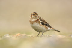 Snow bunting, Plectrophenax nivalis Stock Image