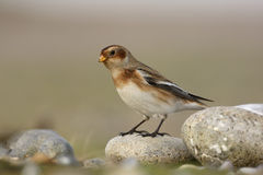 Snow bunting, Plectrophenax nivalis Royalty Free Stock Photo